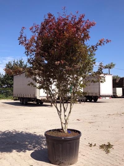Acer palmatum 'Atropurpureum' / Roter Fächerahorn 300-350 cm (546808)