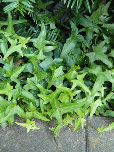 Hedera helix 'Sagittifolia' / Pfeilblättriges Efeu