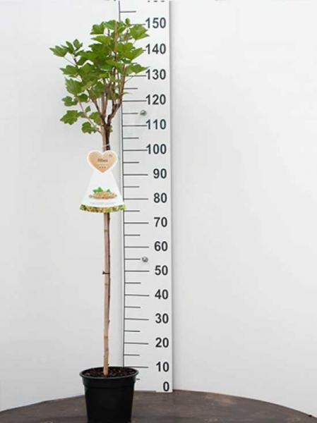 Ribes rubrum 'Werdavia' / Weiße Johannisbeere 'Werdavia'