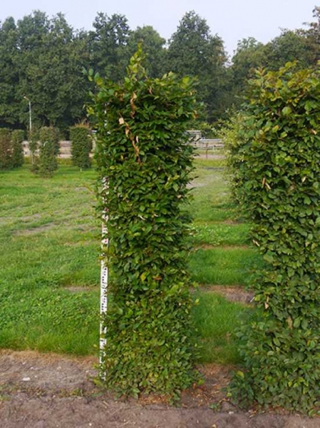 Carpinus betulus / Hainbuche / Fertighecke / Heckenelement 200 cm x 50 cm x 50 cm
