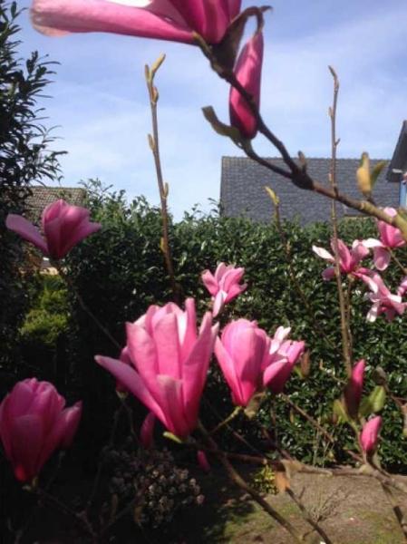 Magnolia soulangiana 'Heaven Scent' / Tulpen-Magnolie 'Heaven Scent'