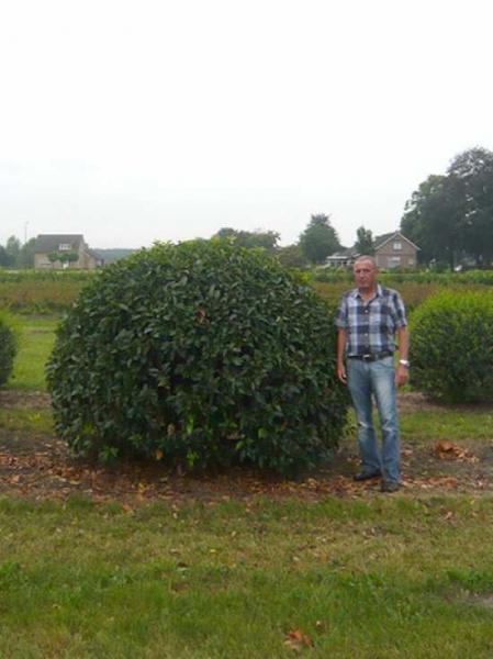 Prunus lusitanica 'Angustifolia' Kugel / portugiesischer Kirschlorbeer 'Kugel' 275-300 cm Solitär mit Drahtballierung