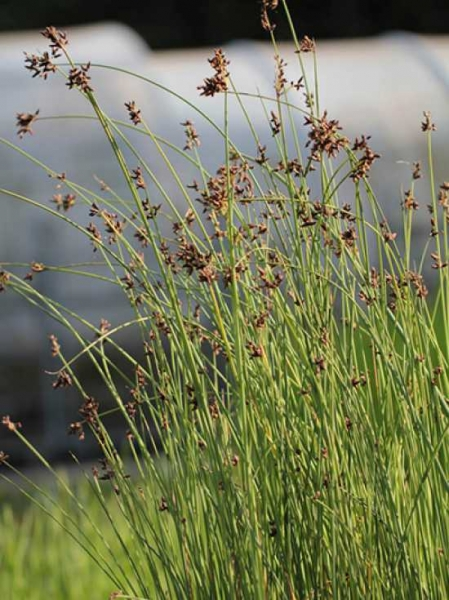 Scirpus lacustris / See-Simse, Teich-Simse