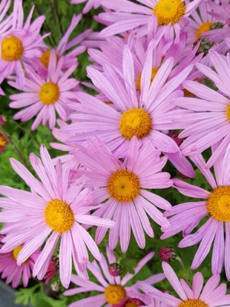 Chrysanthemum zawadskii var. latilobum 'Clara Curtis' / Frühe Garten-Winteraster 'Clars Curtis'