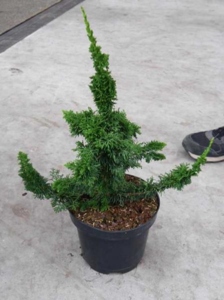 Thuja occidentalis 'Sagrada' / Bizarrer Zwerg-Lebensbaum 'Sagrada'