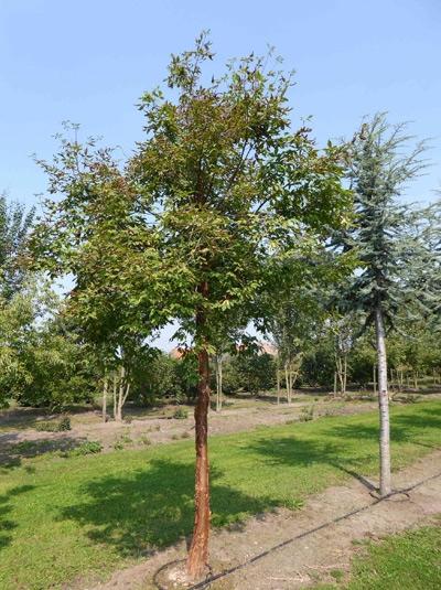 Acer griseum / Zimt-Ahorn 450-500 cm