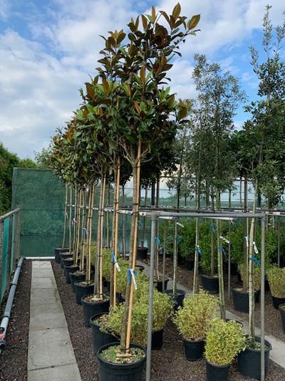 Magnolia grandiflora 'Praecox' / Großblütige Magnolie 'Praecox'