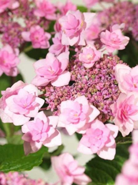 Hydrangea macrophylla 'Shamrock' / Teller-Hortensie 'Shamrock'