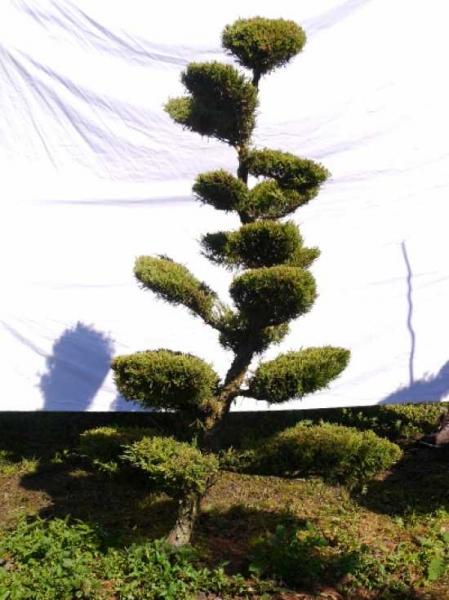 Juniperus media 'Hetzii' H: 190 cm B: 120 cm / Garten-Bonsai (301558)