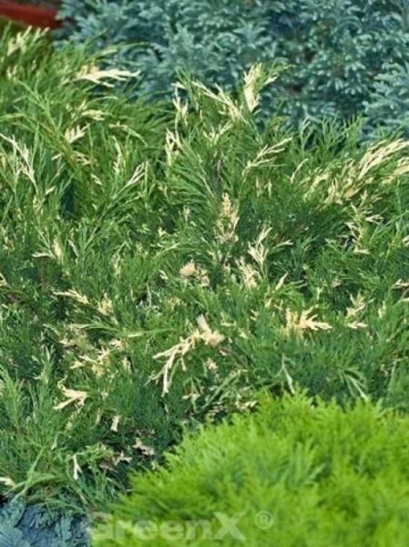 Juniperus sabina 'Variegata' / weiß-Bunte Sadebaum / Weiß-Bunte Stink Wacholder