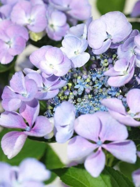 Hydrangea macrophylla 'Bläuling' / Teller-Hortensie 'Bläuling'