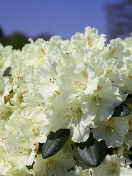 Rhododendron yakushimanum 'Marietta' / Rhododendron 'Marietta'