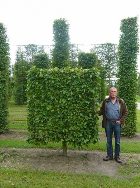 Carpinus betulus / Hainbuche / Weißbuche 'Boden-Spalier' H:200 B:200 T:20 (Stamm 50 cm)