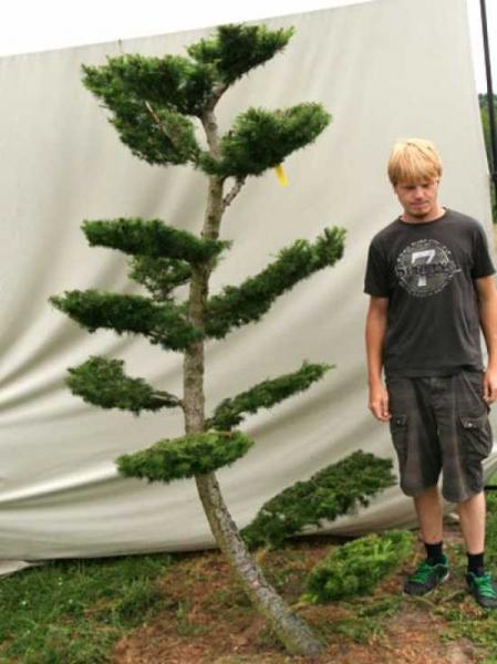 Larix decidua H: 230 cm B: 160 cm / Garten-Bonsai (801108)