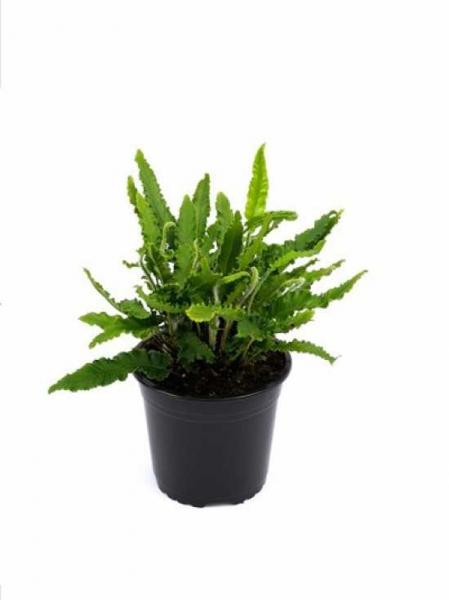 Asplenium scolopendrium 'Angustifolium' / Phyllitis scolopendrium 'Angustifolium' / Hirschzungenfarn