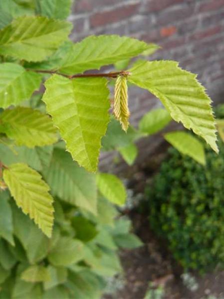 Carpinus betulus 'Lucas' / Dachform / Dachspalier / Säulen-Hainbuche