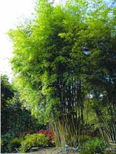 Phyllostachys nigra henonis / Gold Haar Bambus 175-200 cm im 20-Liter Container