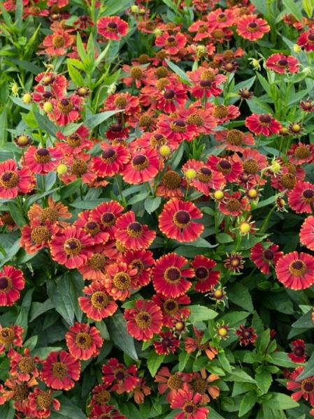 Helenium hybrida 'Red Jewel' / Garten-Sonnenbraut