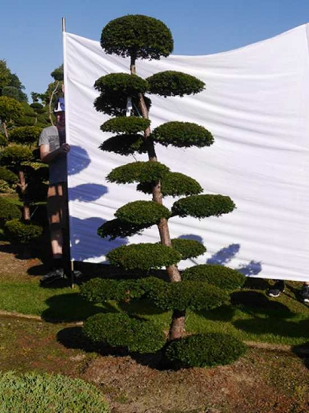 Taxus media 'Hillii' H: 240 cm B: 130 cm / Garten-Bonsai (0207)