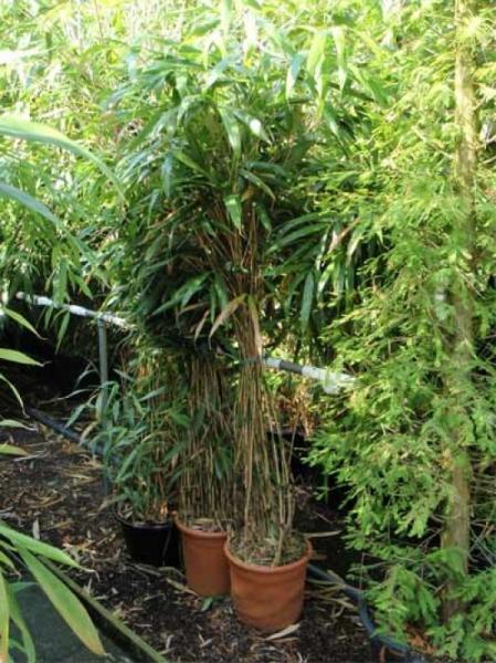 Pseudosasa japonica / Pfeilbambus 150-175 cm im 20-Liter Container