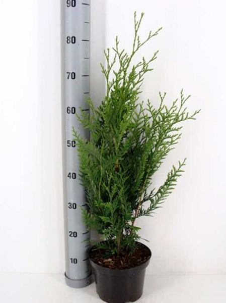 Thuja plicata 'Atrovirens' / Lebensbaum 'Atrovirens' 60-80 cm im 3-Liter Container