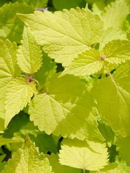 Agastache rugosa 'Golden Jubilee' / Duftnessel 'Golden Jubilee' / Koreanische Goldminze 'Golden Jubilee'
