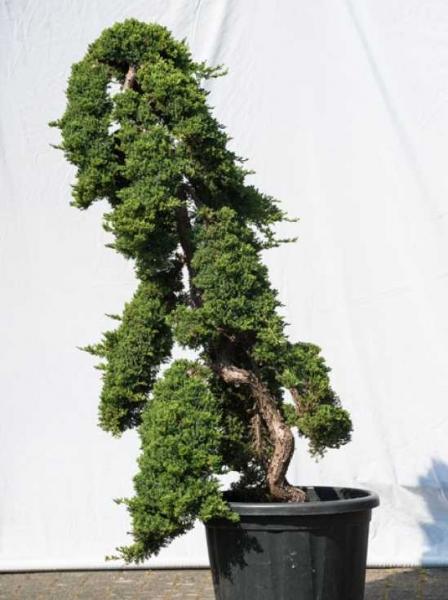 Juniperus procumbens 'Nana' H: 150 cm B: 100 cm / Garten-Bonsai (524)