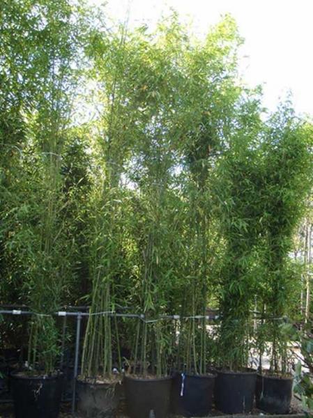 Phyllostachys aurea / Knoten-Bambus 400-500 cm im 110-Liter Container