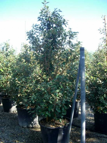 Elaeagnus ebbingei / Wintergrüne Ölweide 175-200 cm im 70-Liter Container