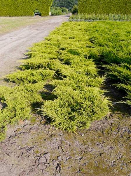 Juniperus pfitzeriana 'Goldkissen' / Pfitzer-Wacholder 'Goldkissen'