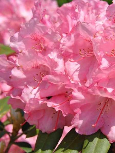Rhododendron yakushimanum 'INKARHO Marlis' / Rhododendron 'INKARHO Marlis'