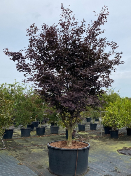 Acer palmatum 'Bloodgood' 150-200 cm breit x 300-350 cm hoch / Fächer-Ahorn (Nr.364)