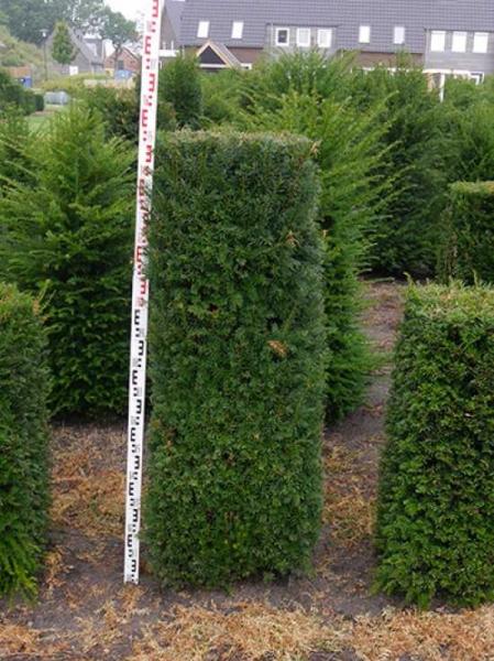 Taxus baccata / heimische Eibe / Fertighecke / Heckenelement 150 cm x 50 cm x 50 cm mit Drahtballierung