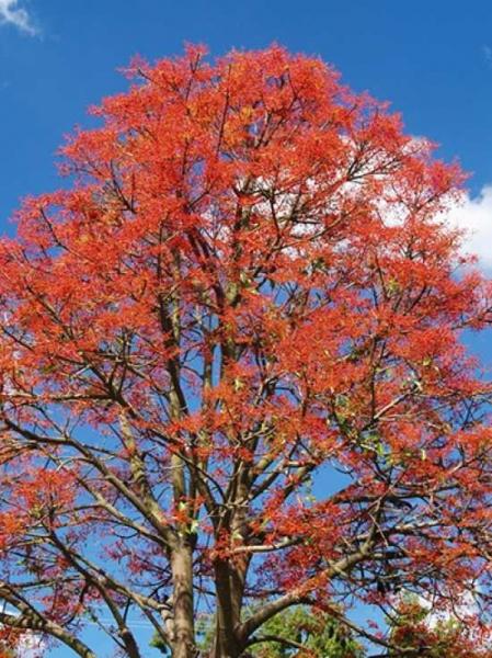 Brachychiton acerifolius / Sterculia acerifolia / Australischer Flammenbaum / Flammender Flachenbaum