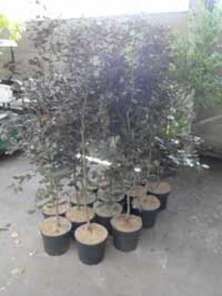 Fagus sylvatica 'Purpurea' / Blutbuche 125-150 cm im 4-Liter Container