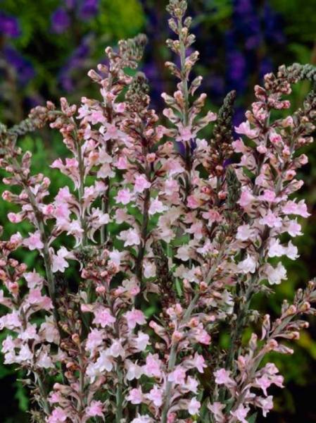 Linaria purpurea 'Canon J. Went' / Rosa Leinkraut