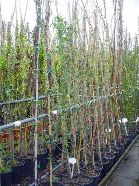 Aristolochia durior / Aristolochia macrophylla / Amerikanische Pfeifenwinde / Osterluzei / Gespensterpflanze