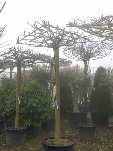 Morus alba 'Macrophylla' Dachspalier / Dachform / Weißer Maulbeerbaum