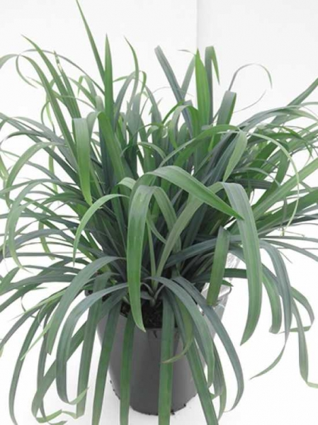 Carex luxiculmis 'Bunny Blue' / Kriechende Segge / Japan Segge 'Bunny Blue'