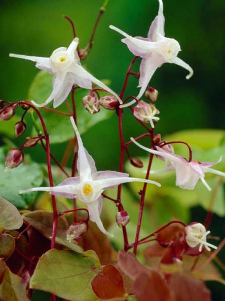 Epimedium grandiflorum / Großblütige Garten-Elfenblume
