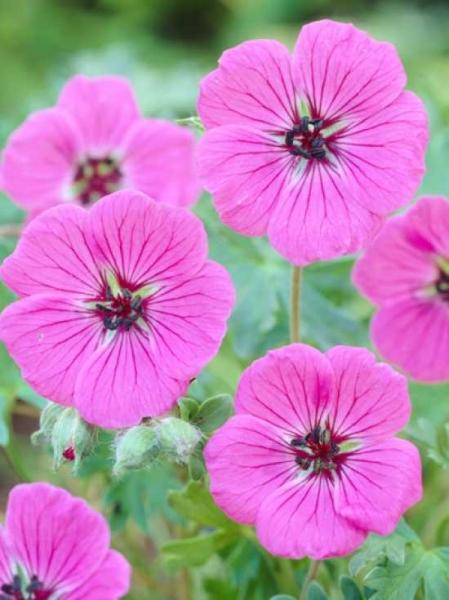 Geranium cinereum var.subcaulescens 'Splendens' / Grauer Garten-Storchschnabel