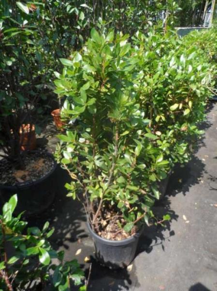 Arbutus unedo / Westlicher Erdbeerbaum
