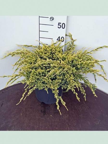 Juniperus squamata 'Holger' / Zwerg-Wacholder 'Holger'
