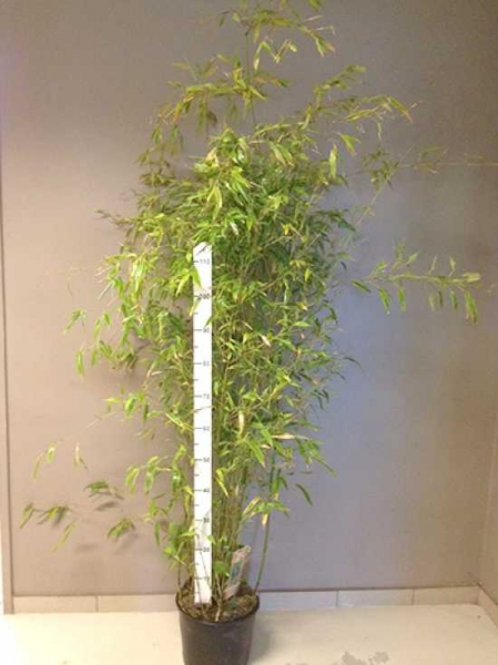 Phyllostachys aureosulcata 'Aureocaulis' / Goldener Peking Bambus 125-150 cm im 12-Liter Container