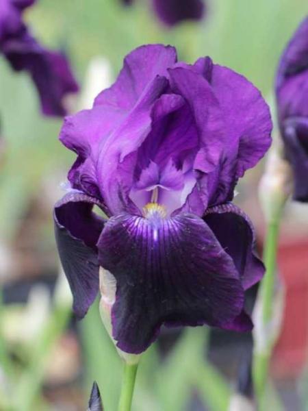 Iris barbata-elatior 'Sable' / Hohe Bart-Iris