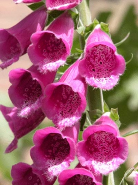 Digitalis purpurea 'Gloxiniaeflora' / Garten-Fingerhut