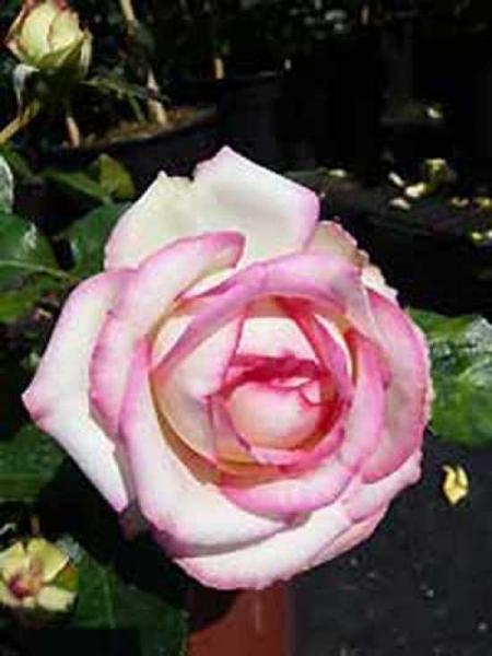 Rosa 'Biedermeier ®' / Zwergrose 'Biedermeier'