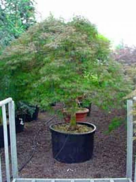 Acer palmatum 'Dissectum' auf Stamm / Grüner Schlitz-Ahorn / Fächer-Ahorn