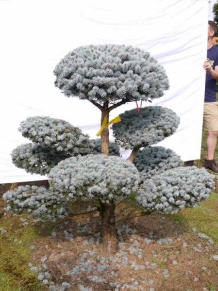 Picea pungens 'Glauca' H: 160 B: 160 cm / Garten-Bonsai (0004)
