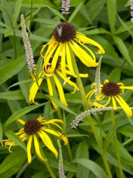 Echinacea paradoxa / Gelber Sonnenhut